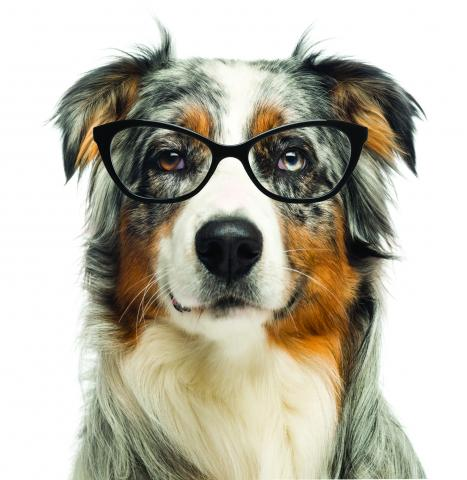 Border collie with reading glasses