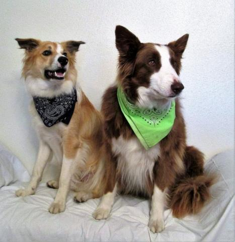 Two border collies wearing scarves